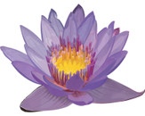 Flower of Lotus by _bug_