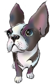 LULU THE BOSTON TERRIER